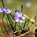 Frühlingsschönheiten - Leberblümchen