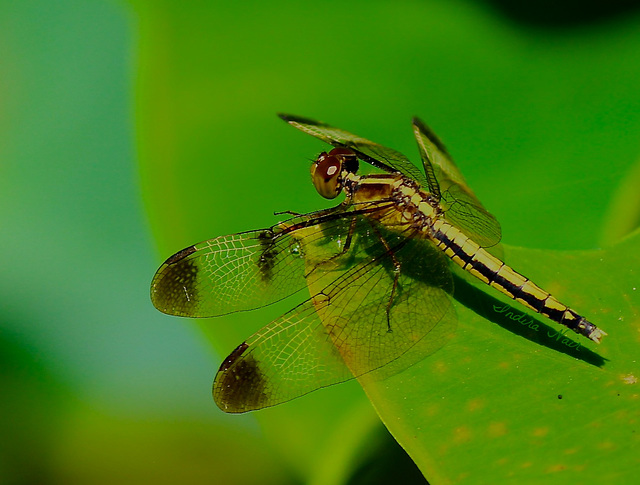 Pied paddy skimmer-female