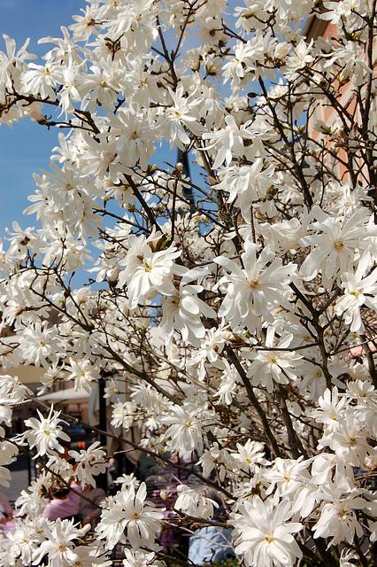 magnolio stelforma (el Azio)