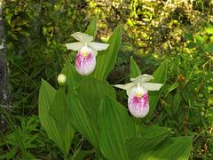 Cypripedium reginae (Showy orchid)