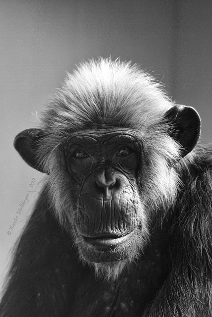 Schimpansin Lulu (Zoo Heidelberg)