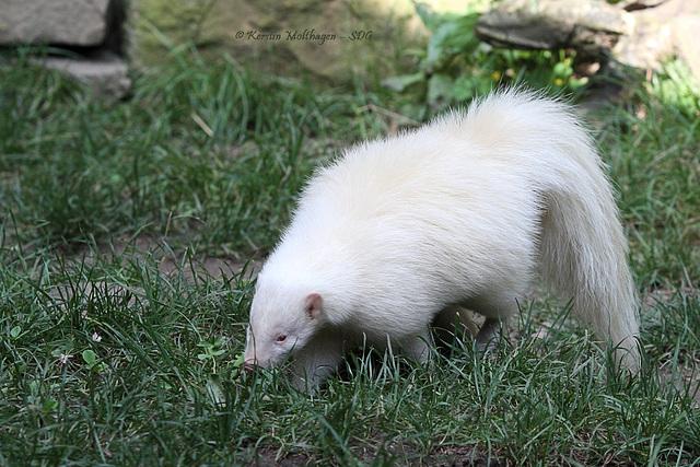 Streifenskunk - Albino (Zoo Heidelberg)
