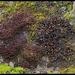 Peuplement d'un rocher humide- Frullania rouge , Peltigère , et mousses