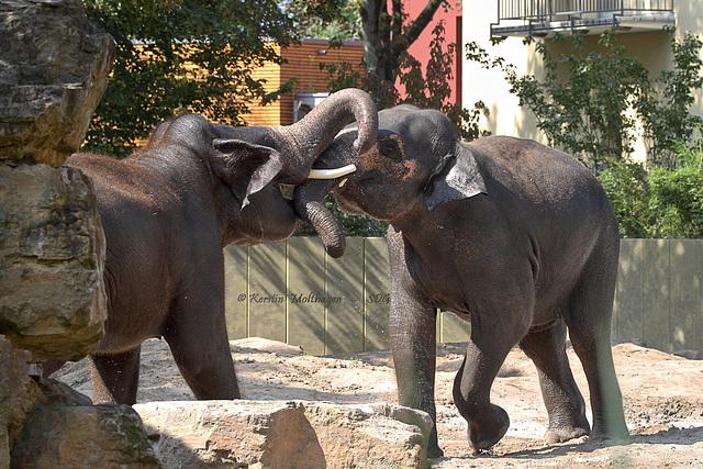 Schwere Jungs - Tarak und Gandhi (Zoo Heidelberg)