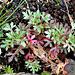 Saxifraga fragosoi = hypnoïdes