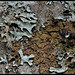 Parmélies sur hêtre- Parmelia sulcata et subaurifera