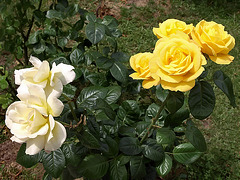 P6107071ac Vienna Street Parterres of Yellow and White Roses