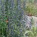 Vipérine-Echium vulgare