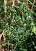 Anchusa arvensis- petite buglosse