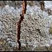 Lichen crustacé sur hêtre