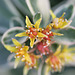 Sedum kamtschaticum variegatum