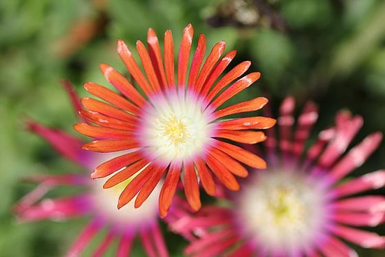 Aizoaceae du jardin  - Page 2 10657169.dbd3a9a3.560