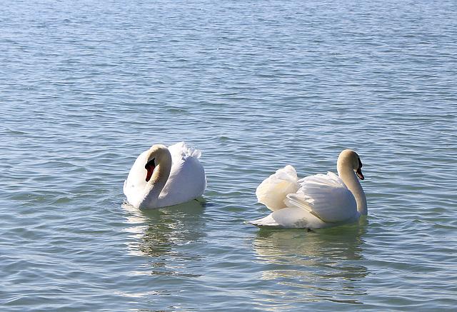 Tanzende Schwäne auf dem Bodensee