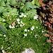 Sagine subulata en fleur