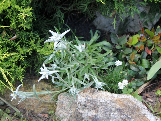 Edelweiss et Armeria blanc