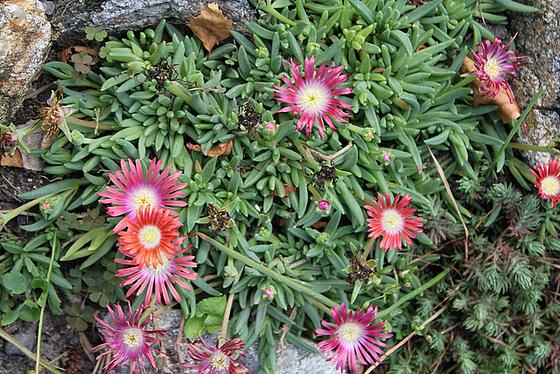Aizoaceae du jardin  - Page 2 10657273.afe7c681.560