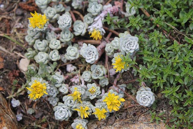Sedum spathulifolium Cape blanco en fleurs