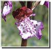 Orchis purpurea (détail).