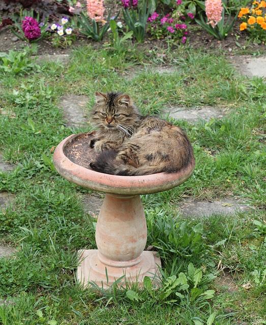 Bain d'oiseaux au chat