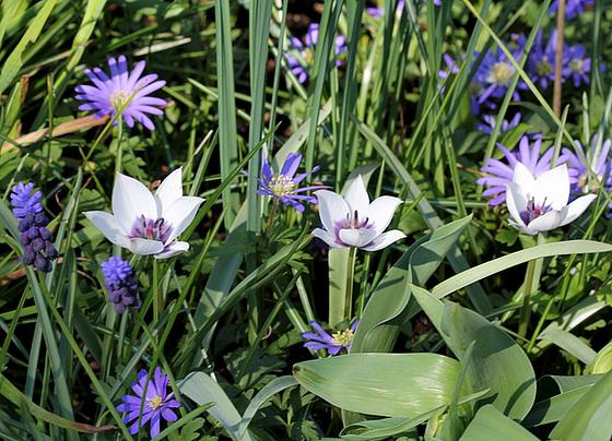 Tulipa - espèces et petits hybrides (sections 12 à 15) 10317357.ba1e8272.560