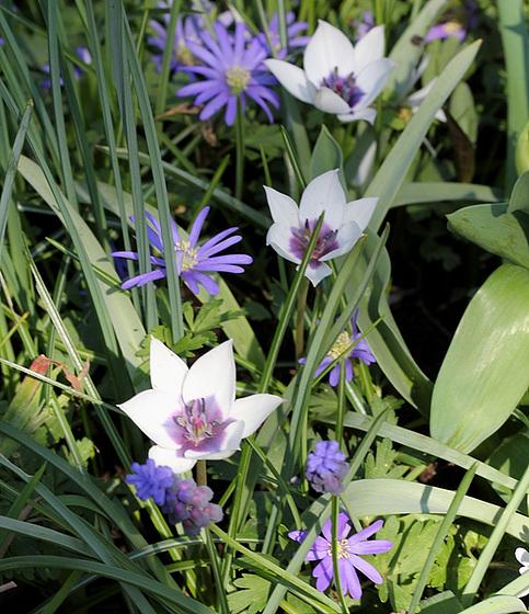 Tulipa - espèces et petits hybrides (sections 12 à 15) 10317358.687ce79f.560