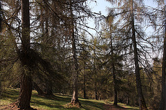Lärchenwald auf dem Penagal