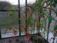 Tomaten - zurechtgeschnitten.