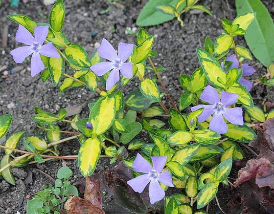 Quelques plantes d'ombre ou mi-ombre 10317500.9e2bb504.560