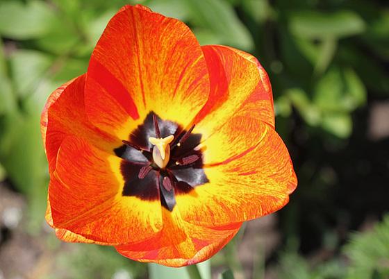 Tulipa - grands hybrides - tulipes chics et kitch (sections 1 à 11) 10317502.067cc7bc.560
