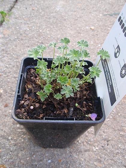 Geranium : espèces et variétés 10427619.e225c5b9.560
