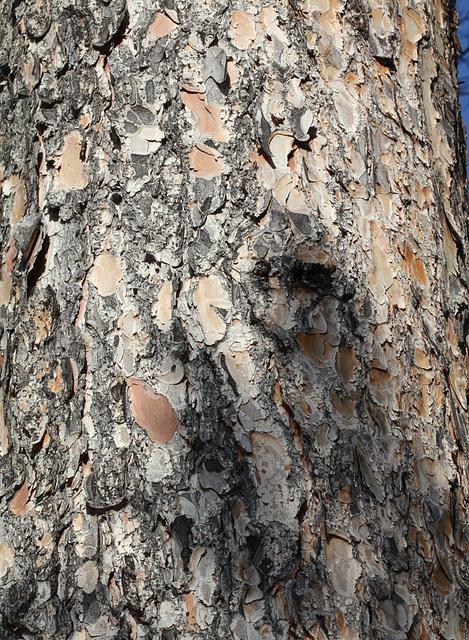 Ecorce P- Picea abies
