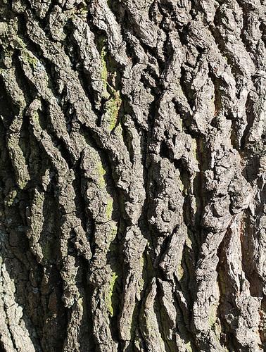 Ecorce L - Quercus Pedonculata