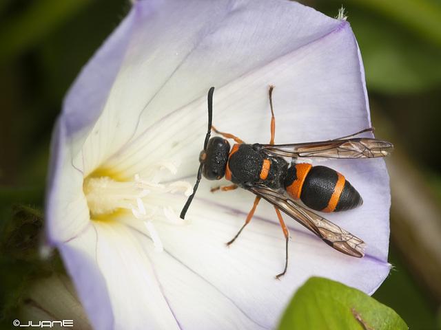 Ancistrocerus haematodes rubropictus (Saussure 1852)