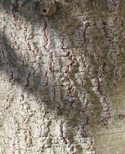 Ecorce D- Araucaria araucana