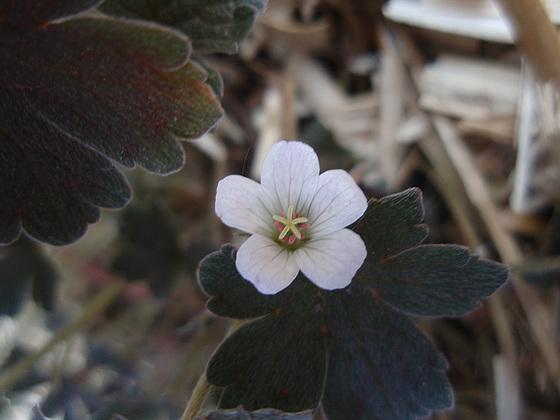 Geranium : espèces et variétés 10427760.bb732f4d.560