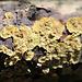 Stereum sp. ( rugosum ou gausapatum ?)