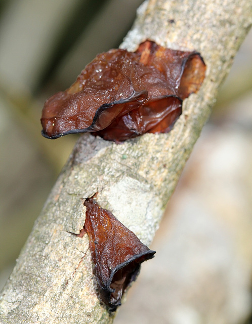 Auricularia auricula-judae-Oreille de Judas