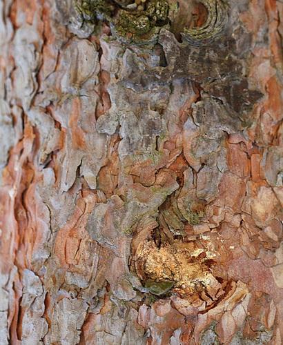 IMG 1478- Pinus Sylvestris