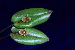Acronia canidentis
