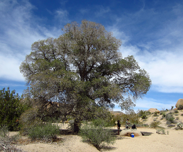At Live Oak in Joshua Tree (0124)