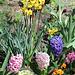 Narcisses et jacinthes-coin de plate bande