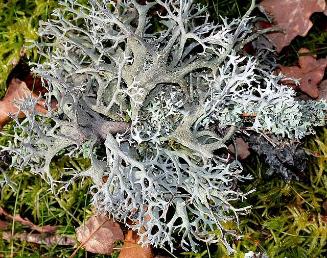 Evernia furfuracea