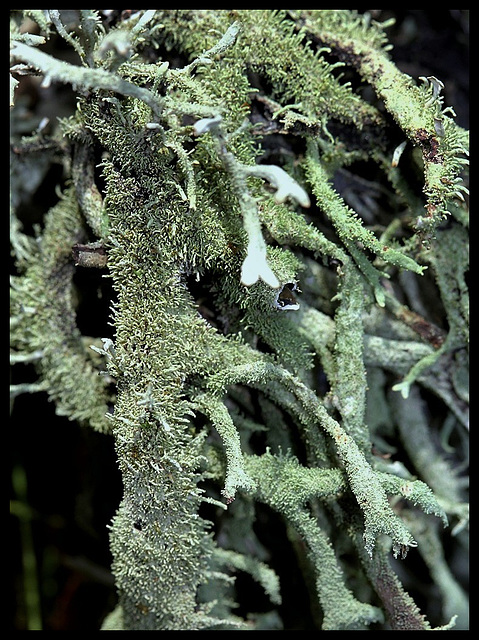 Evernia furfuracea - détail