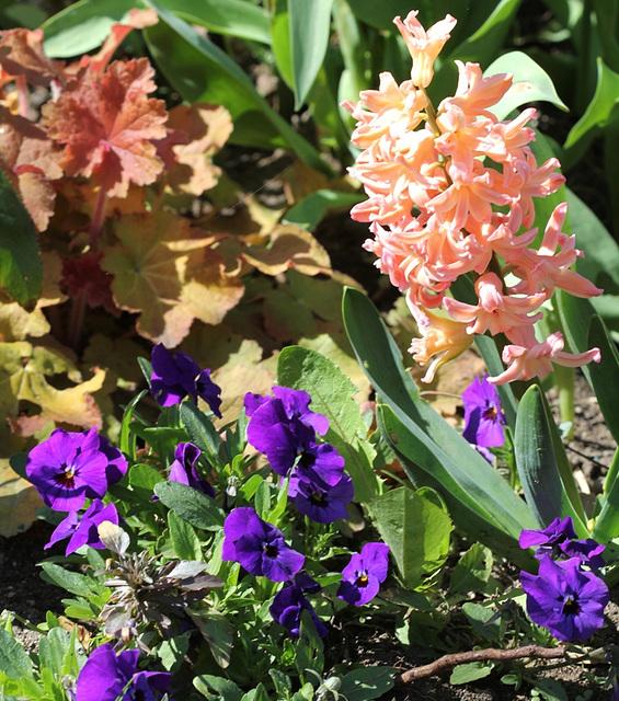Heuchère caramel -pensées violettes et jacinthe