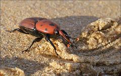 Rhynchophorus ferrugineus, vulgarmente denominado por escaravelho vermelho, é quem mata as palmeiras...