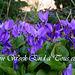 Violettes de Cliousclat 26