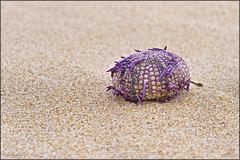 Echinoidea, ouriços-do-mar, bolachas-do-mar