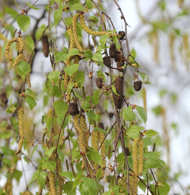 floraison de bouleau