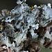 Parmelia sulcata (2)