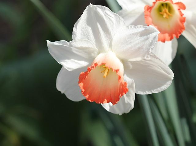 Narcisse  hybride